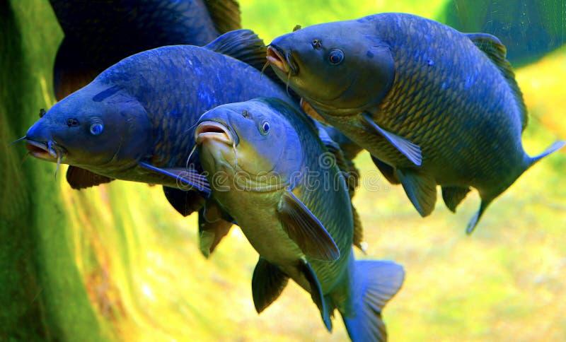 Koi or carp fish stock photo image of carp scales for Japanese flag koi
