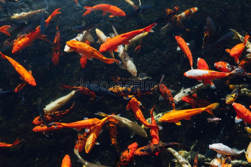 Koi carp fish at sunny day stock photography
