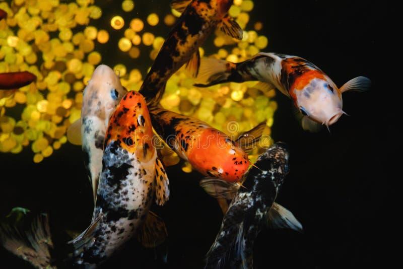 Koi Carp, grande pesce giapponese, underwater in giardino immagini stock libere da diritti