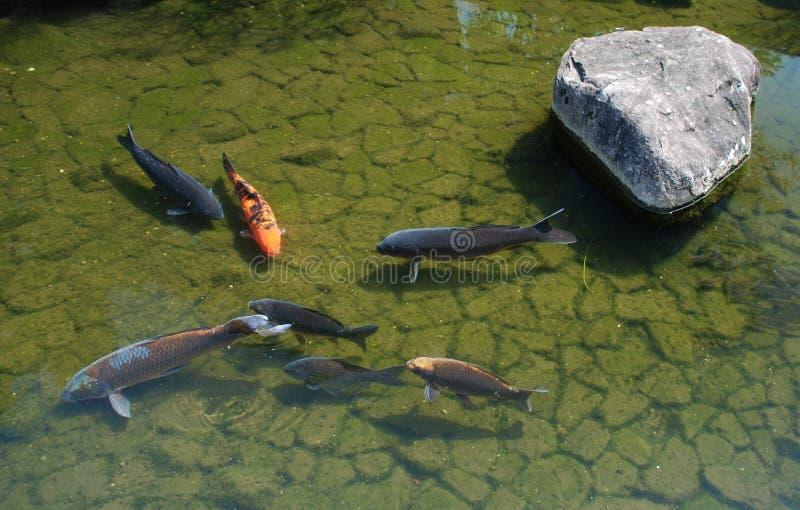 Koi Carp, Koko-En Gardens royalty free stock photos