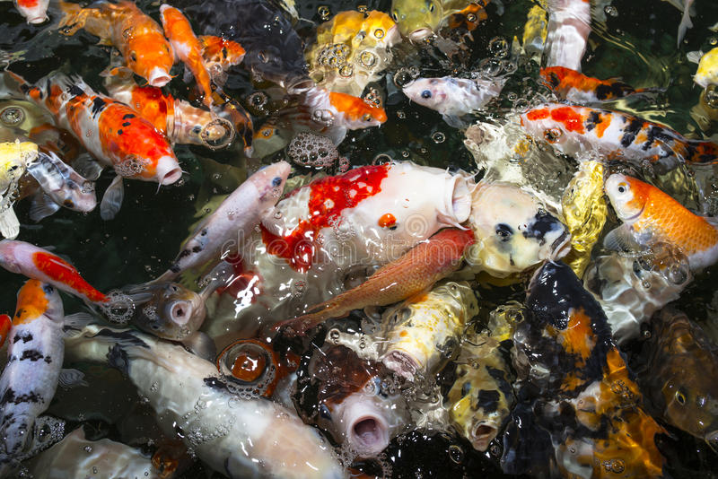 Koi carp stock photo image of freshwater fengshui for Chinese koi pond