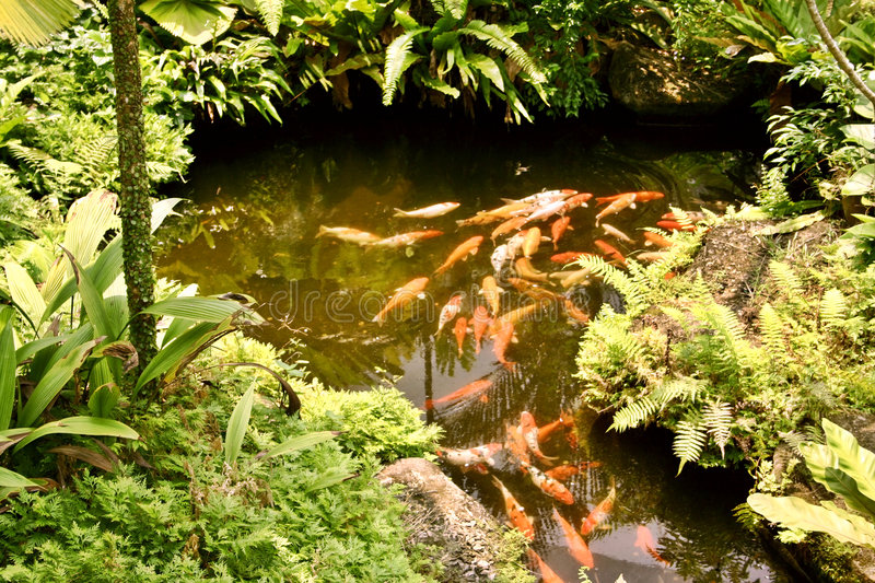 Koi carp in pond stock image image of water fish for Ornamental pond fish golden