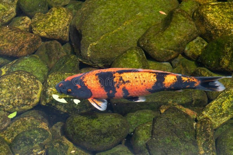 Koi Carp som simmar i en sjö fotografering för bildbyråer