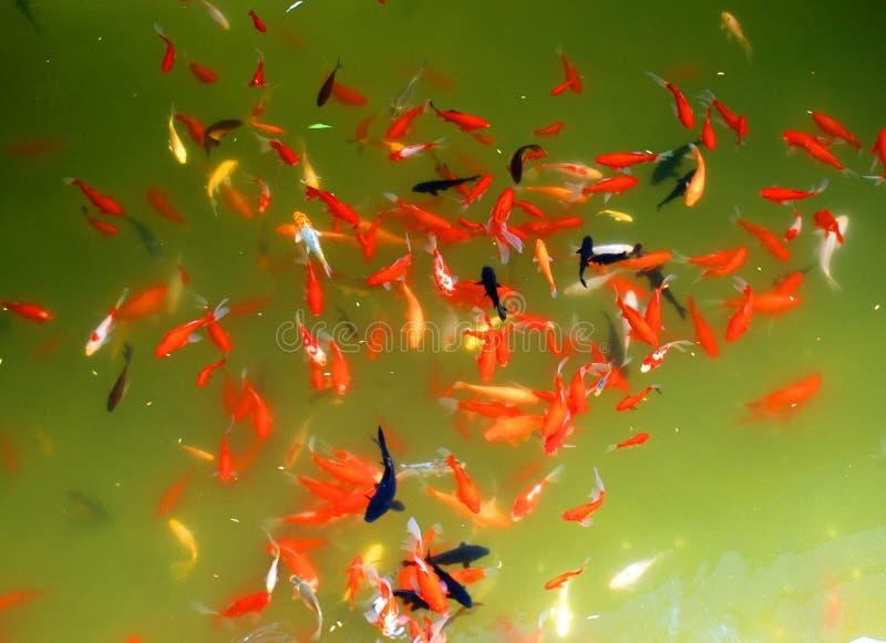 Koi carps. A swarm of koi carps swim in the spring lake stock image