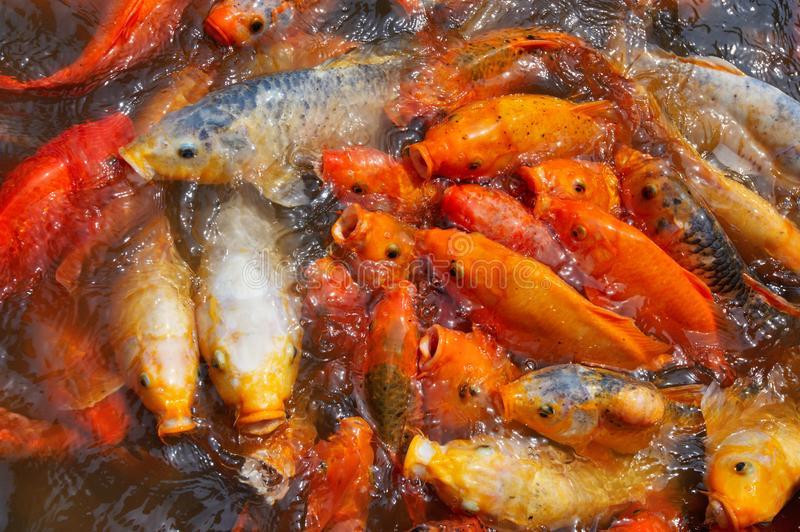 Koi carps crowding together competing for food royalty free stock image