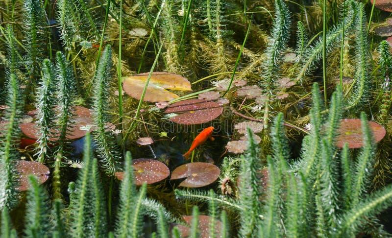 Koi Carps Fish na lagoa verde no jardim da ilha de Mainau imagem de stock royalty free