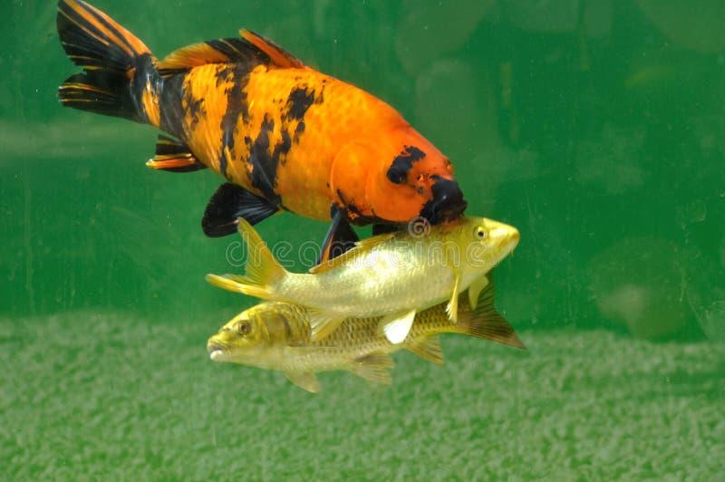 Koi carps. In pond stock photo