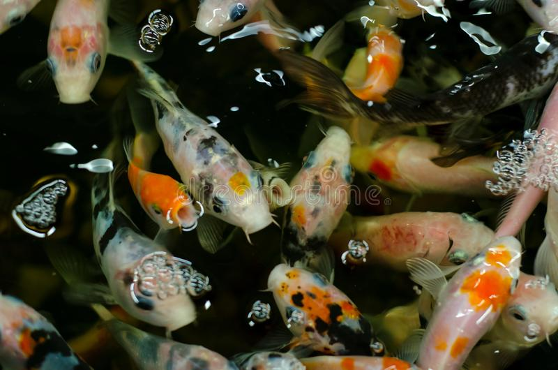 Koi carps in the pond.  royalty free stock photos