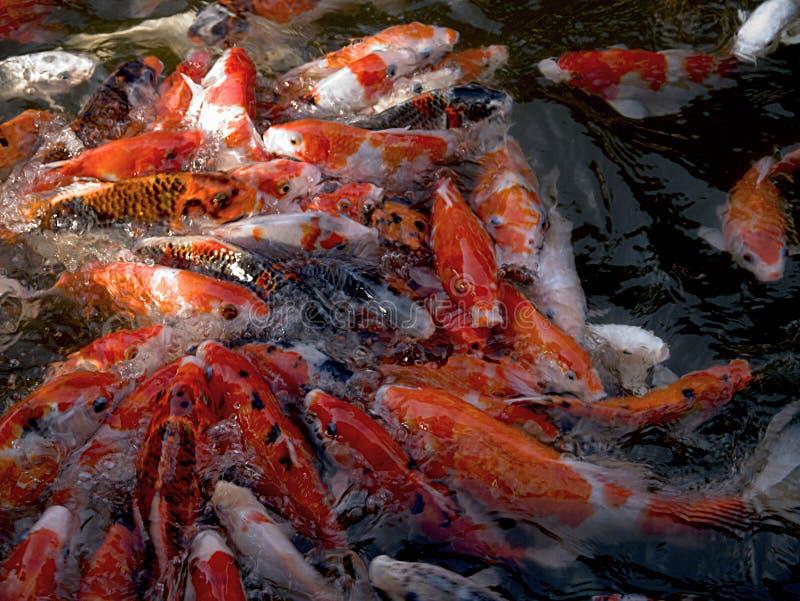Koi Carps. A shoal of Koi carps in apnd in Bali feeding in a frenzy stock photo