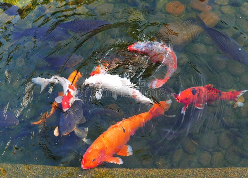 Koi Carps. Swim around in a pond in Hong Kong stock photography