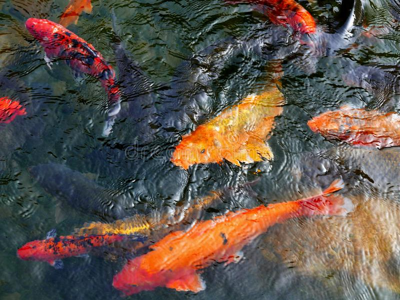 Koi Carps. Swim around in a pond in Hong Kong stock photos