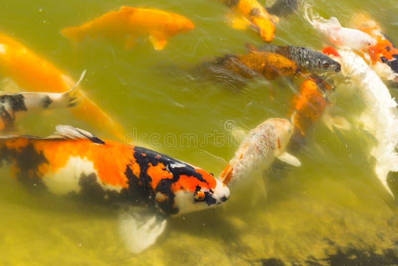 Koi carps swimming. In the Pond stock photos