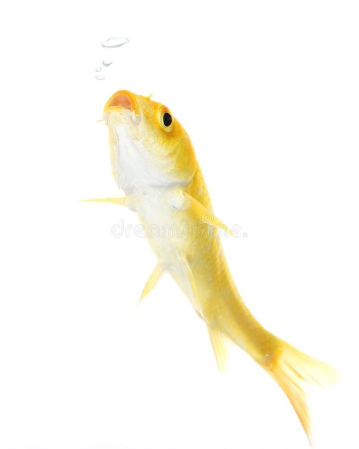 koi d'or de poissons image libre de droits