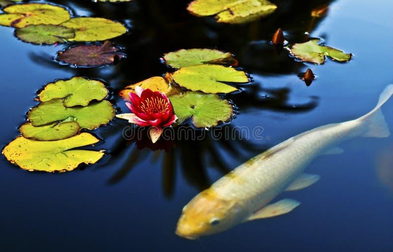 Koi dans un étang photo stock