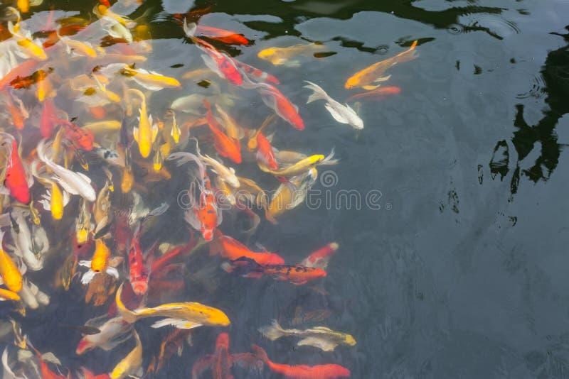 Download Koi en la charca imagen de archivo. Imagen de agua, libertad - 41908287