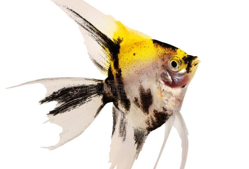 Koi-Engelhai pterophyllum scalare Aquariumfische lokalisiert auf Weiß lizenzfreie stockbilder