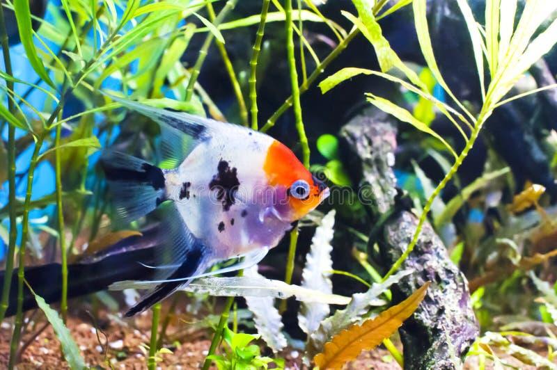 Koi escalar em um aquário fotografia de stock royalty free