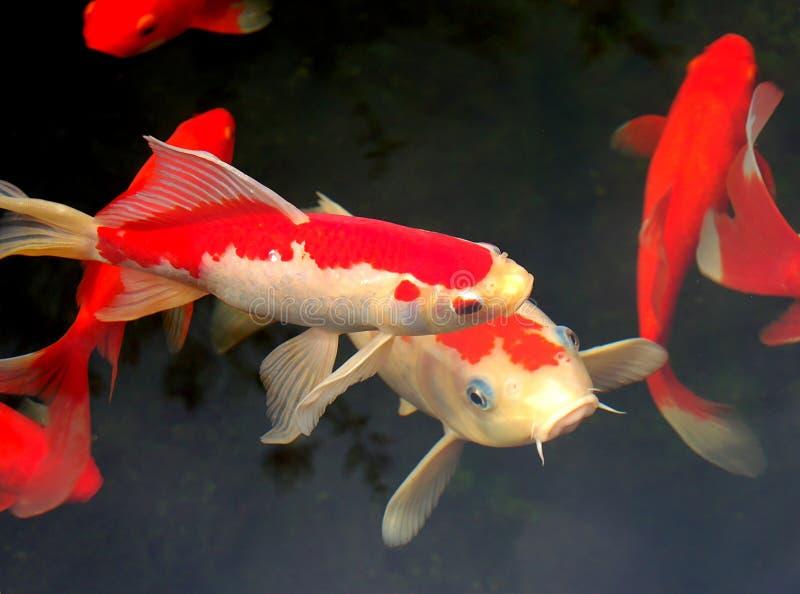Koi et goldfish