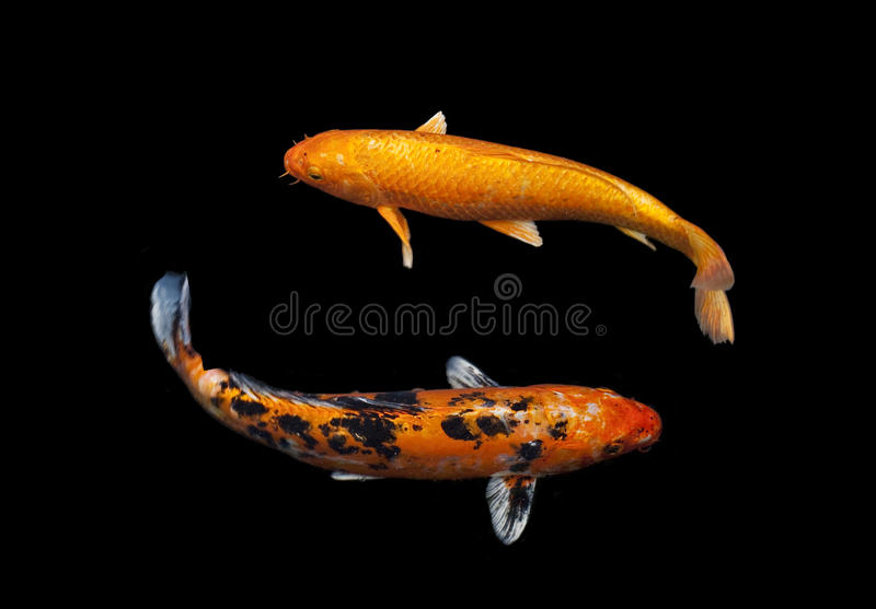 koi fancy carp stock image image of orange carp japan