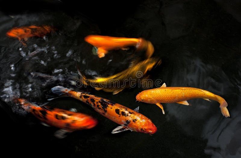 Koi fancy carp stock photo image of pool orange white for Fancy koi fish