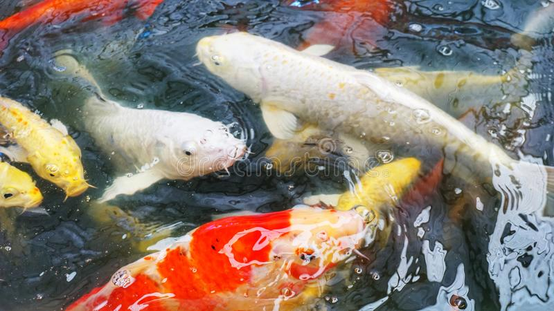 Koi fancy crap in pond royalty free stock photos