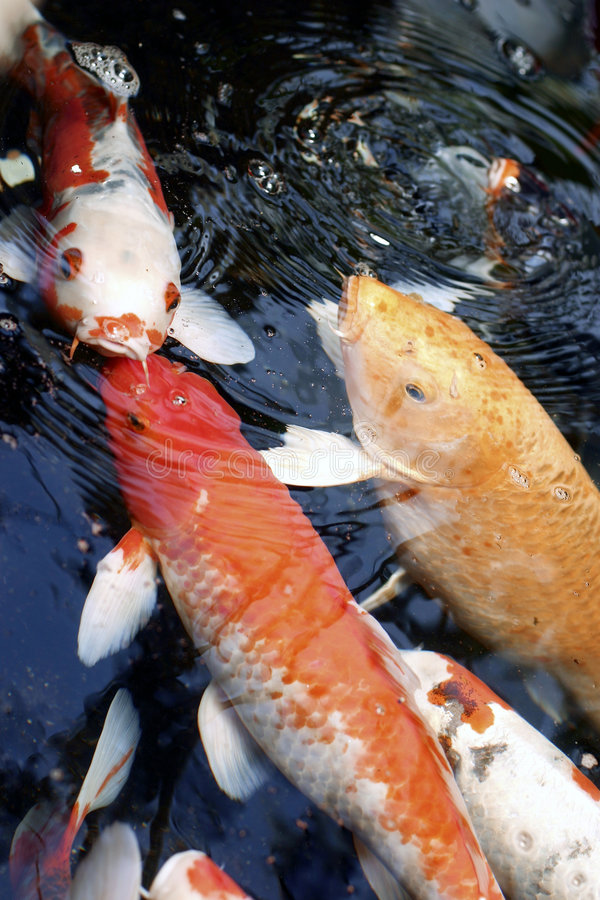 Download Koi feeding stock photo. Image of large, black, japan, white - 150528