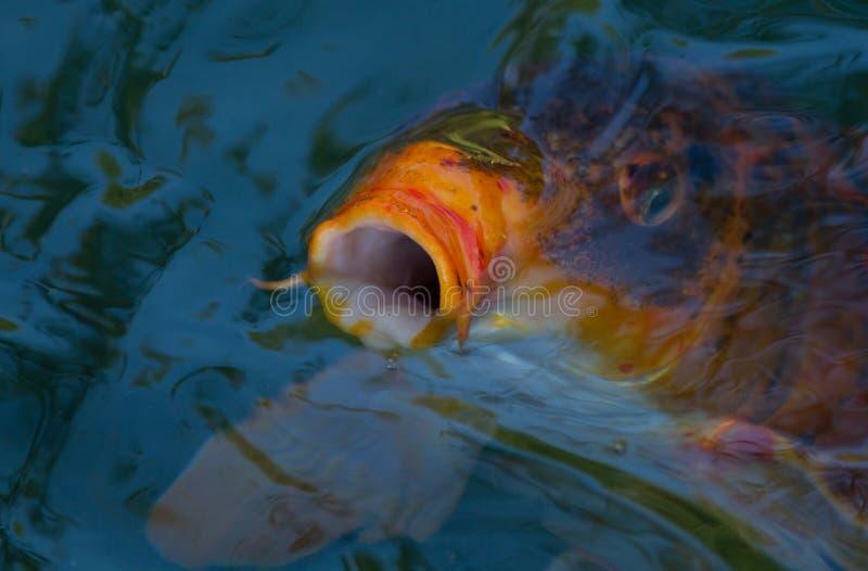 Koi Fische Lizenzfreie Stockfotos