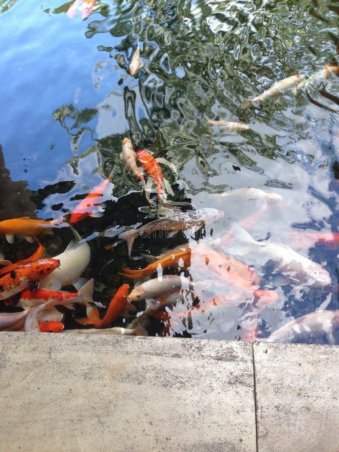 Koi Fische stockfotografie