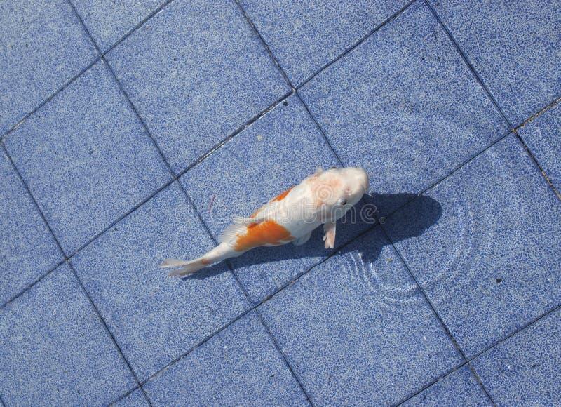 Koi Fische in einem blauen Pool lizenzfreie stockfotos