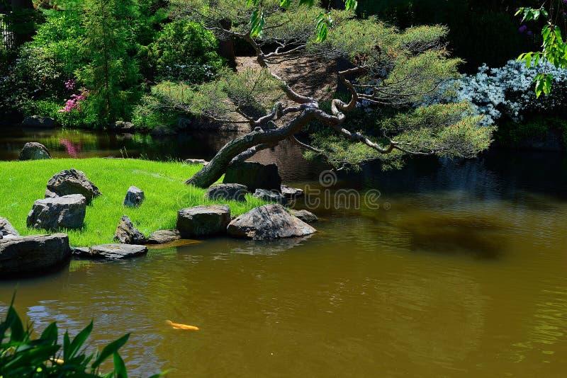 Koi fische in einem japanischen teich stockfoto bild von for Kois und goldfische in einem teich