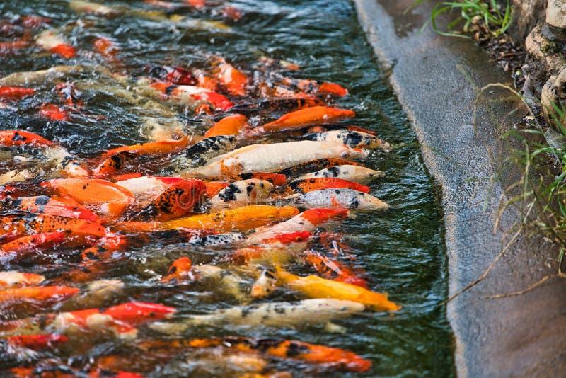 Koi-Fische in einer Fütterungsraserei lizenzfreie stockfotos