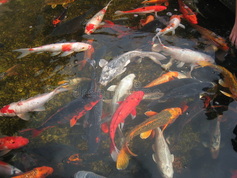 Koi fische im teich stockfoto bild von asiatisch for Fische in teich