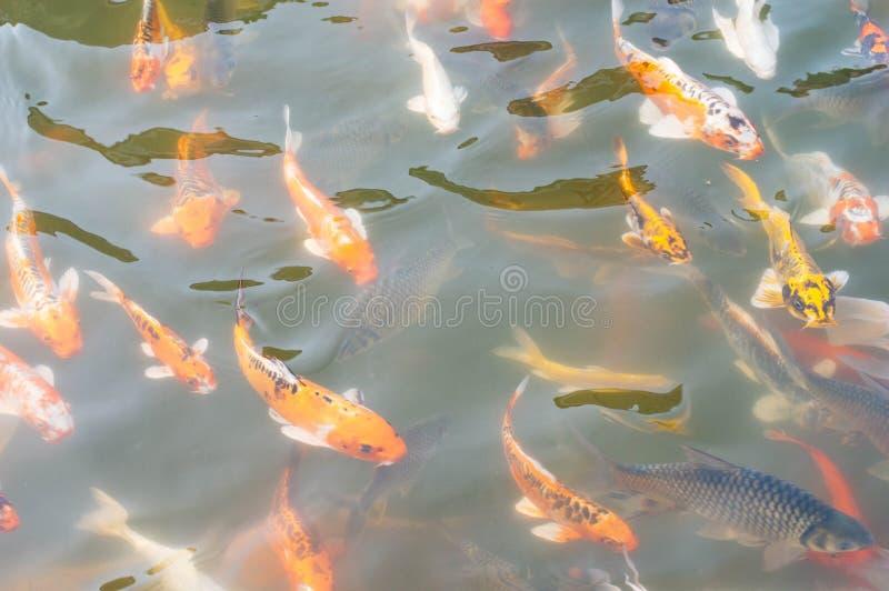 Koi-Fischschwimmen im Pool stockbilder