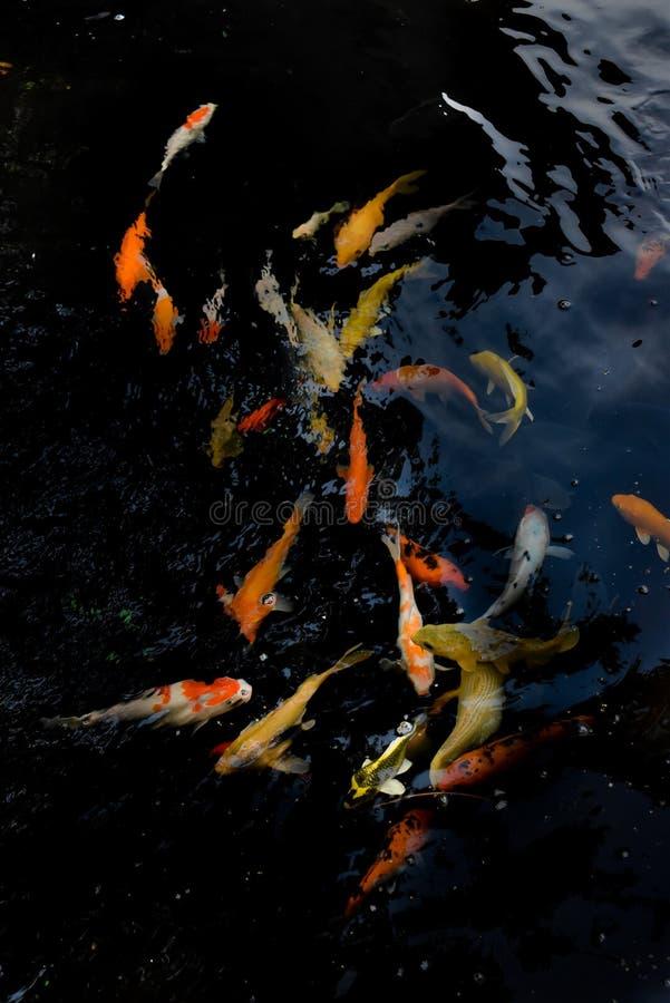 Koi-Fischtanzen in einem Teich stockbilder