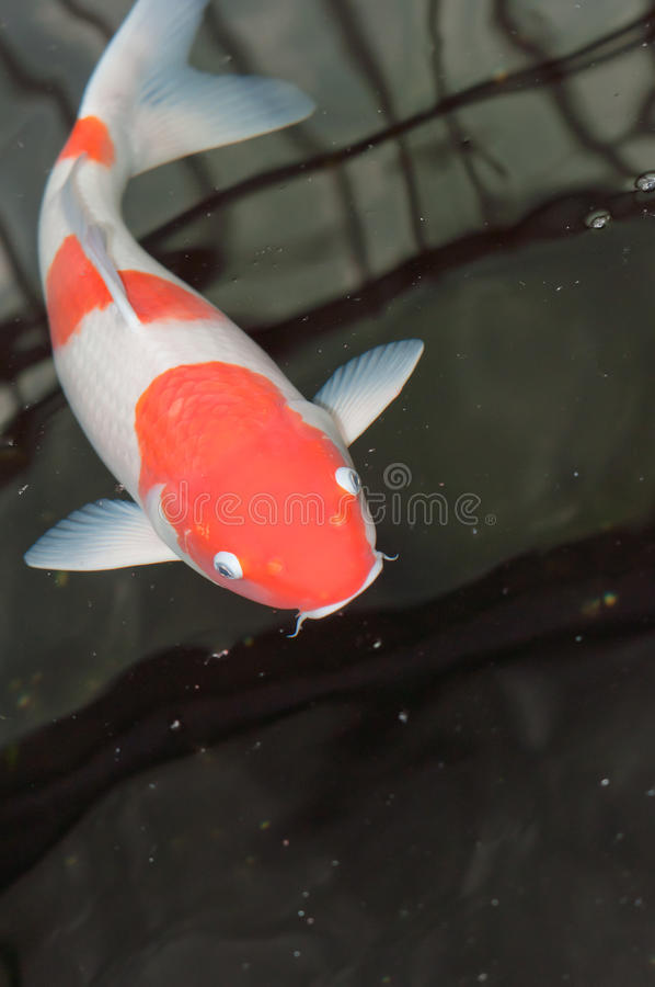 Download Koi fish stock image. Image of nature, fins, clear, hungry - 24154937