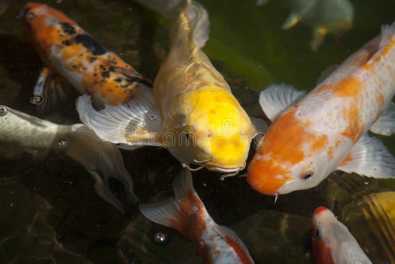 Koi fish. Pond full of koi fish. Known also as japanice carp royalty free stock image