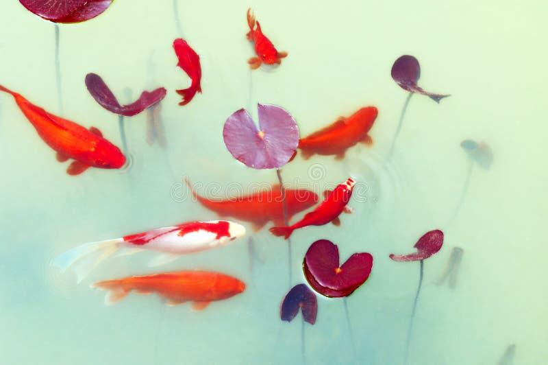 Koi fish. Playing in spring pond