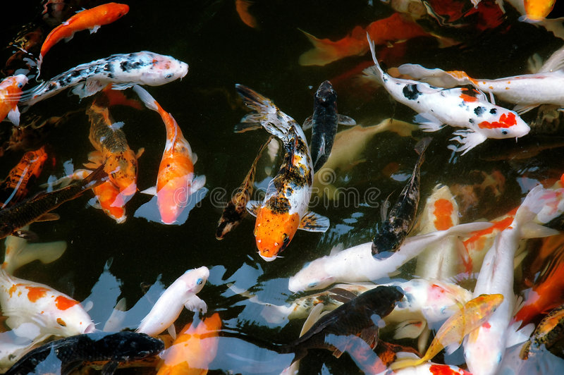 Download Koi fish stock image. Image of asian, feed, peaceful, cultivated - 970851