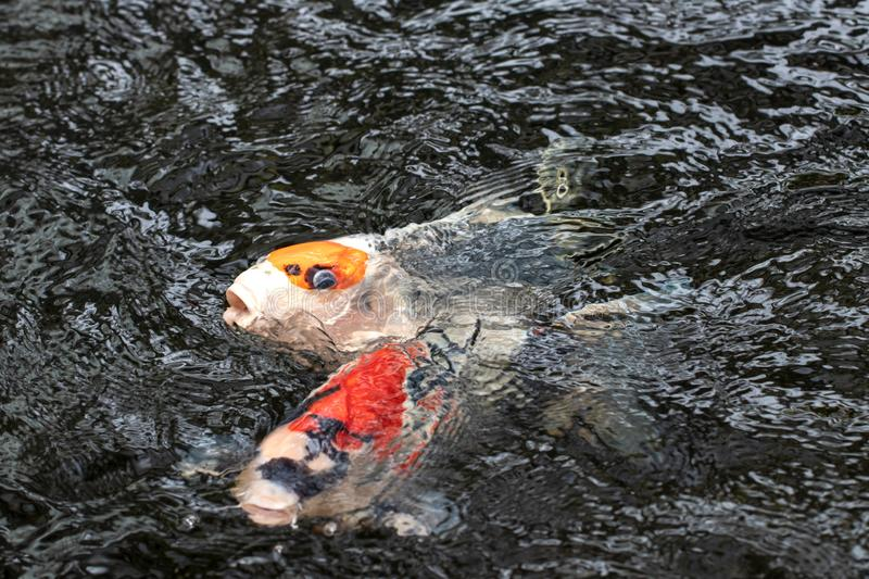 Koi fish background. Closeup of a red and yellow swimming Japanese Koi carp with wave ripples. Macro stock image