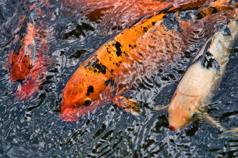 Koi fish coming up to eat royalty free stock photography