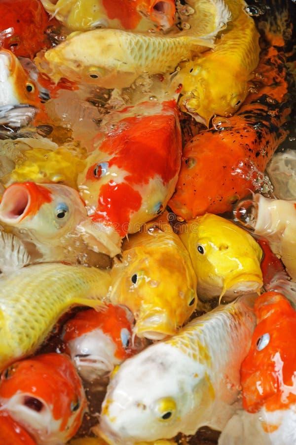 Koi fish feeding royalty free stock photos