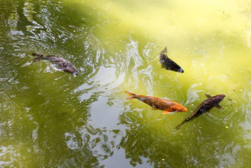 Koi Fish In Green Pond arkivfoto