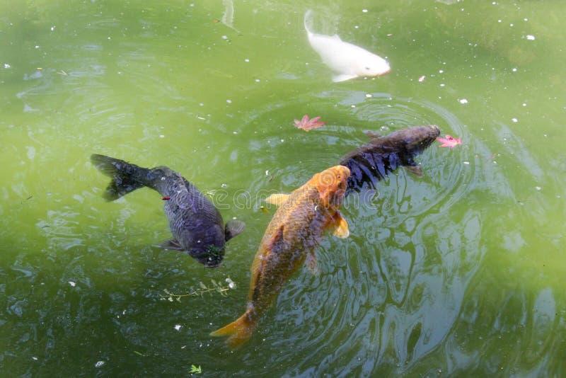 Koi Fish In Green Pond arkivbild