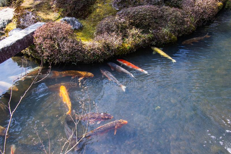 Koi fish group swim in the pond inside garden at Tenryuji temple located in the scenic Saga Arashiyama area of Kyoto in JAPAN royalty free stock photos