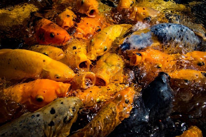 Koi Fish hambriento enorme fotografía de archivo libre de regalías