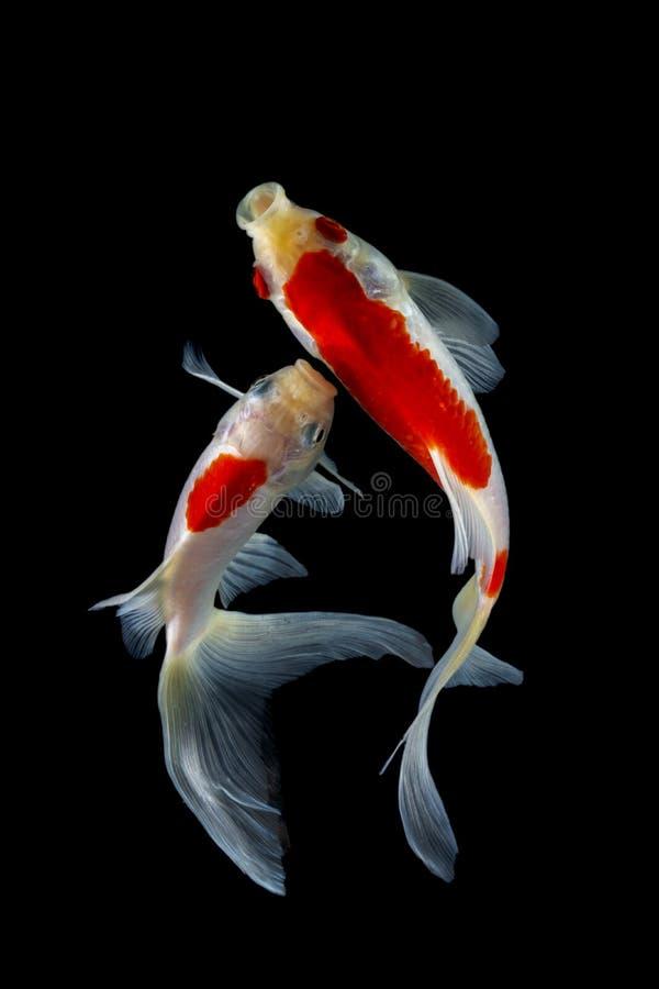 Koi Fish Japanese Black Background Stock Photo Image Of Happy Japanese 170984668