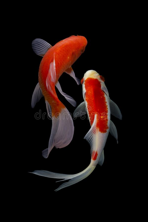 Koi Fish Japanese Black Background Stock Image Image Of Colorful Happy 170984755