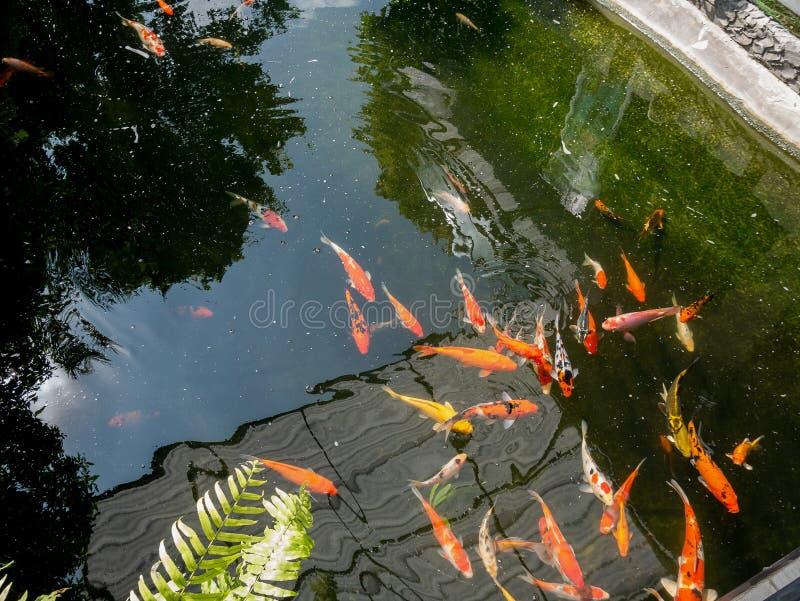 Koi fish in koi pond in the garden. Fancy carp koi fish in koi pond in the garden stock photography