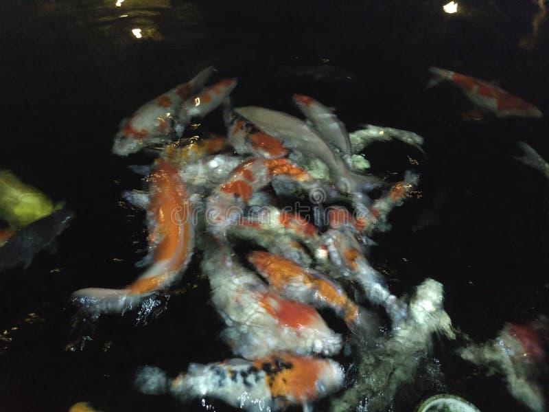 Koi Fish krijgt diner stock foto