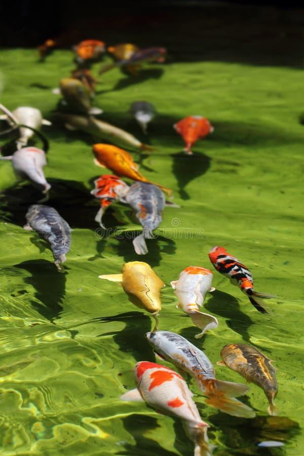 Download Koi fish line (Carp) stock image. Image of fullframe - 34468313